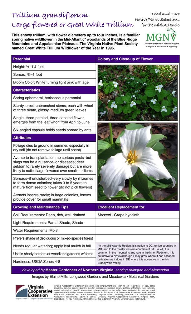Trillium Grandiflorum Large Flowered Or Great White Trillium