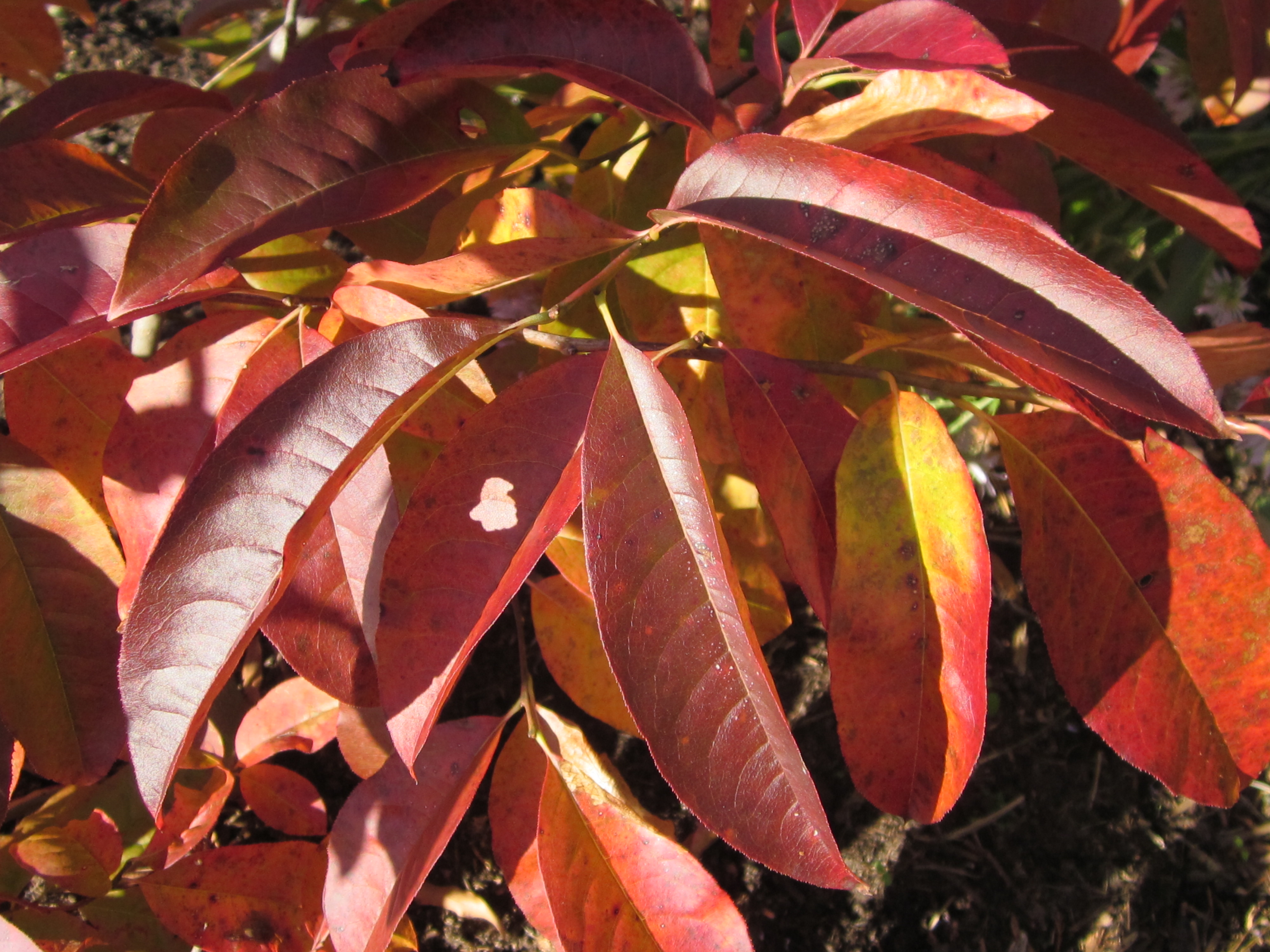 Quarry Shade Garden At Bon Air Park: TREE: Oxydendrum Arboreum (Sourwood)