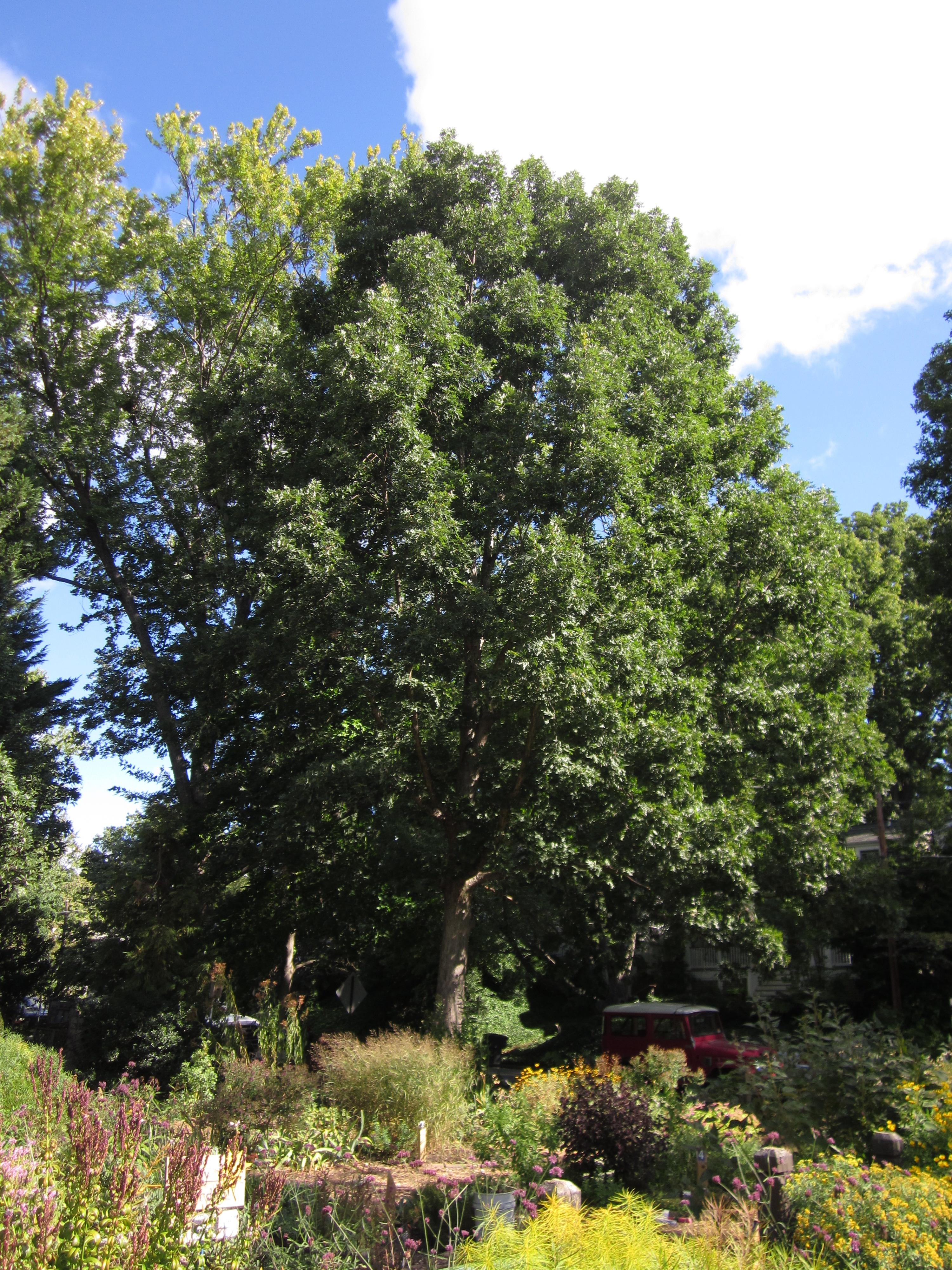Quarry Shade Garden At Bon Air Park: TREE: Quercus Alba (White Oak)